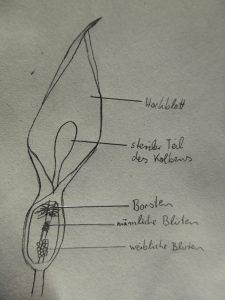 Aufbau des Blütenstandes, Zeichnung: Clara