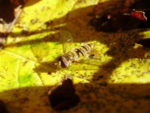 Hainschwebfliege, Episyrphus balteatus, Foto: Gerrit