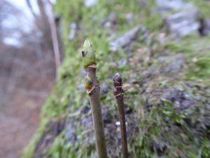 Berg-Ahorn (links) und Feld-Ahorn (rechts) im Vergleich. Foto: Clara